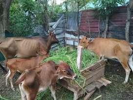 Jual sapi induk dengan anak nya 2 pasang