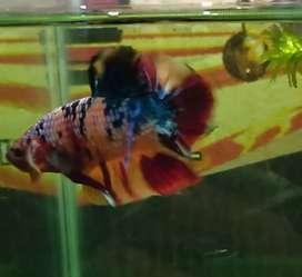 Ikan cupang hias multi mempesona