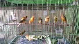 Love bird dan Kenari