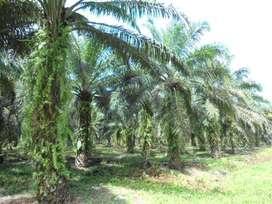 Petugas Tata Usaha dan Pembukuan Perkebunan Sawit di Kampar, Riau