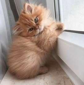 Cari adopsi kucing ras apapun