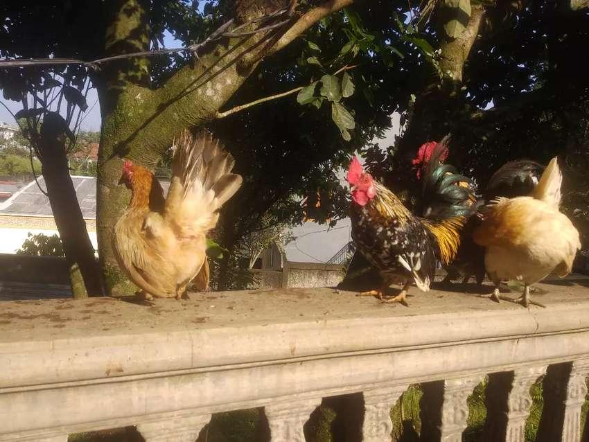 Ayam Kate 2 jantan blorok + 2 betina