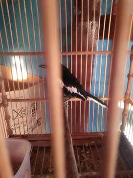 Burung kacer udah ngoceh vareasi