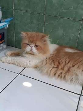Jasa Pacak Kucing Persia Peaknose