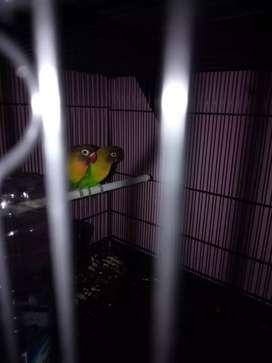 Lovebird jantan