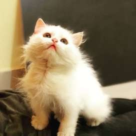 White Doll and punch face Persian kittens for sale