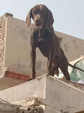 German pointer age 15 month male