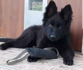 Black Shehperd Long Coated Puppy