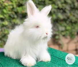 English Angora Rabbit Male Bunnies!! Show Quality!
