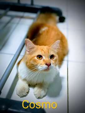 Kucing mix persia jantan sehat dan lincah