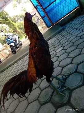 Ayam aduan pama iq