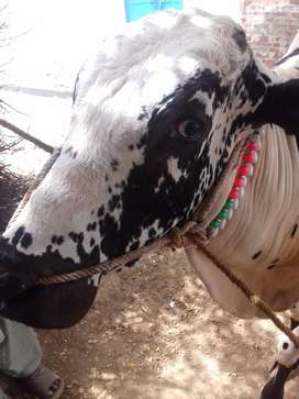 Pure Dhani breed, 200 kg weight ,racer ,