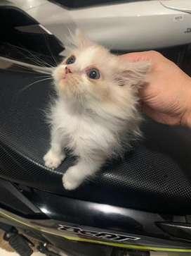 Adopsi Kitten Persia Medium