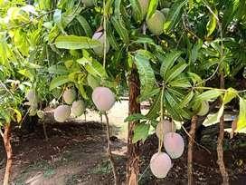 MANGO FARM LAND
