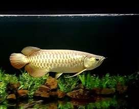 Arwana golden red 53cm
