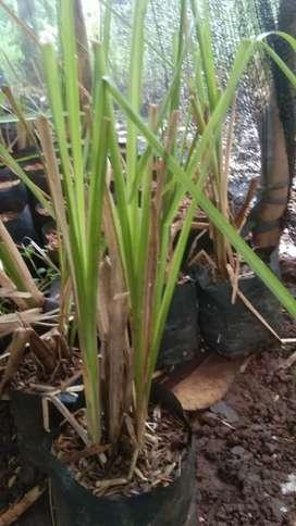 Pusat bibit rumput akar wangi penahan longsor
