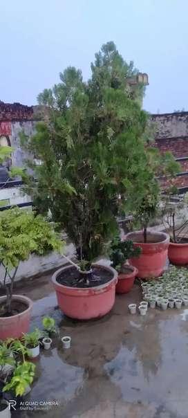Mor pankhi  plant