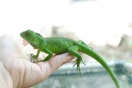 Green iguana elsa