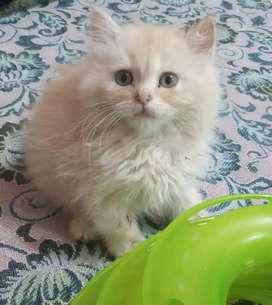 Flat face persian kitten cat