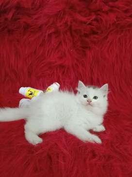 Persia flatnose betina 2.5 bulan super longhair