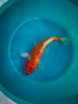 Japanese koi fishes