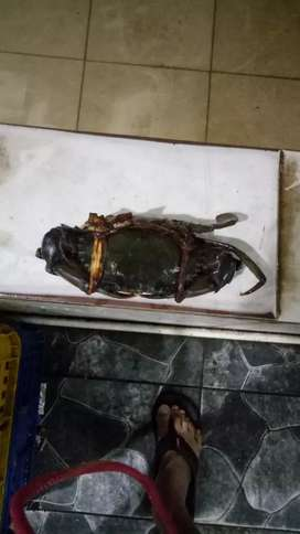 Kepiting bakau super size 200up