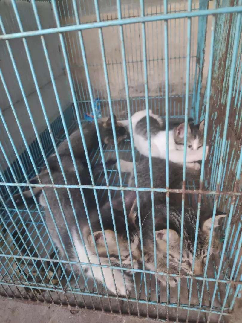 Jual anak kucing persia mix 0