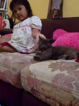 Kucing persia,  sehat gemesin