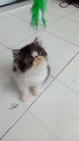 Kitten peaknose jantan