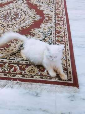 Persion white cat
