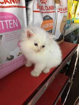 kucing persia putih dan oren