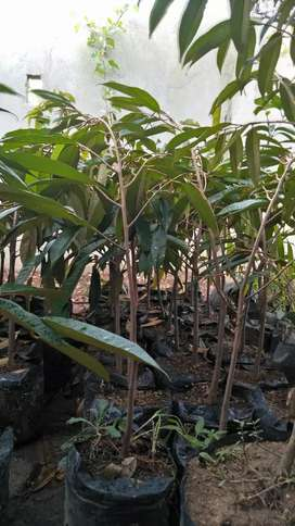 Bibit tanam buah durian montong