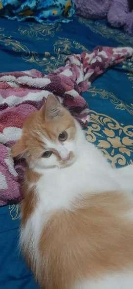 Kucing mix persia dan himalaya