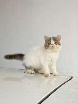 Kucing persia exotic peaknose blue Van Betina