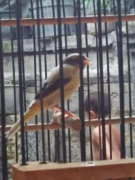 Di jual burung kenari cewek siapan