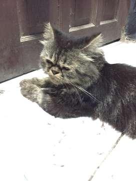 Kucing Persia Long Hair