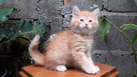 kucing persia medium jantan redtabby lucu