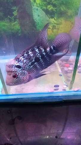 Ikan Lauhan cencu