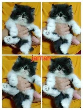 Kitten peak extrem jantan