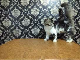 Kucing persia mix maincoon