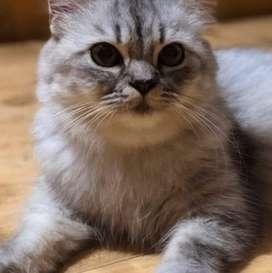 Greyish colour persian cat