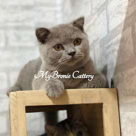 Kucing scottish fold betina umur 5 bulan PED
