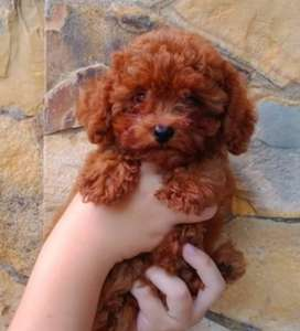 Puppies Red toy poodle