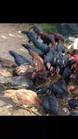 Jual beli ayam kampung
