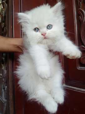 Wait is over alots of  persian kitten available read add