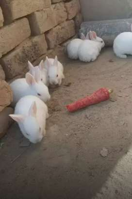 Rabbits bunnies . pure White Red Eye /punch face