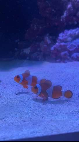 Healthy and active clownfish pair