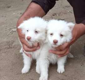 Russian dogs for sale