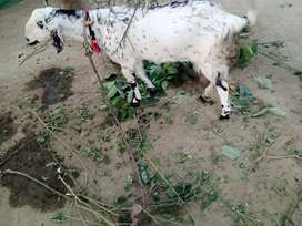 Goats for sale (Bakrrian bry Frought)