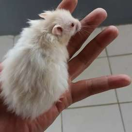 Hamster Syirian